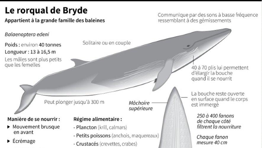 Le rorqual de Bryde