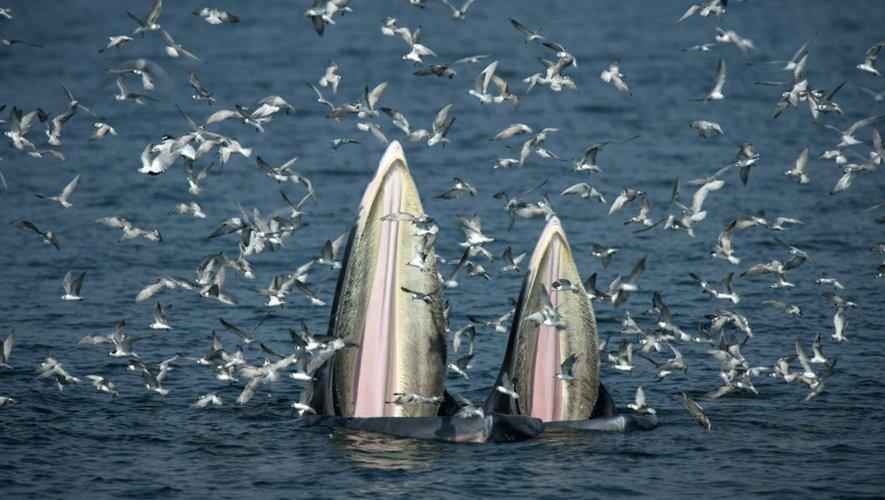 Une baleine et son petit le 20 novembre 2016 dans le golfe de Thaïlande à la recherche d'anchois