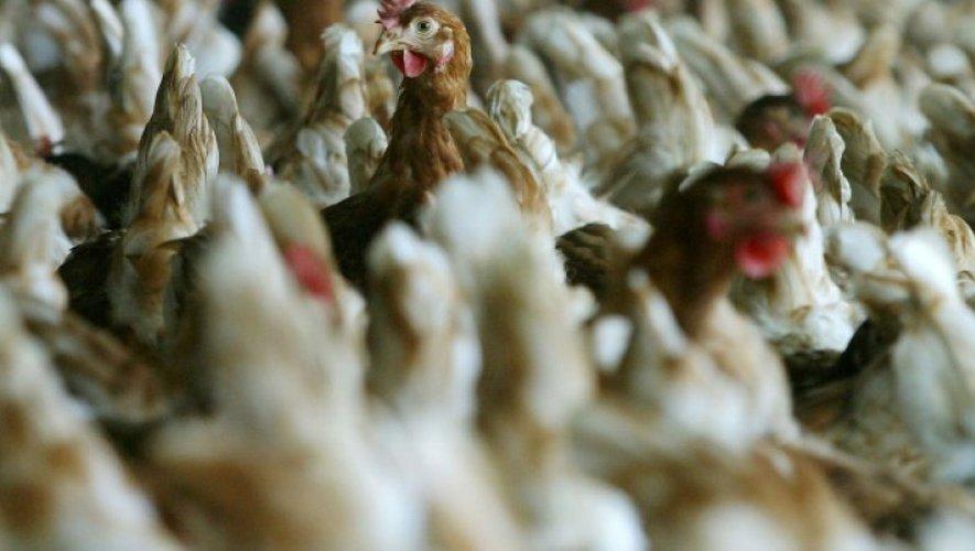Grippe aviaire : 19 foyers en France, 13 pays européens touchés