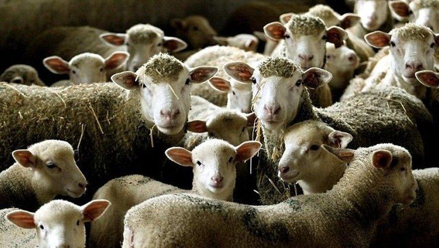 Saint-Germain : attaque d'un troupeau de brebis en pleine journée