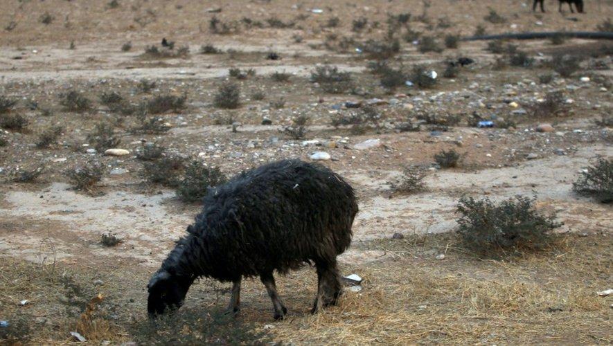 Un mouton à la toison noircie à cause de la fumée des puits de pétrole à Al Qayyarah, en Irak, le 6 novembre 2016