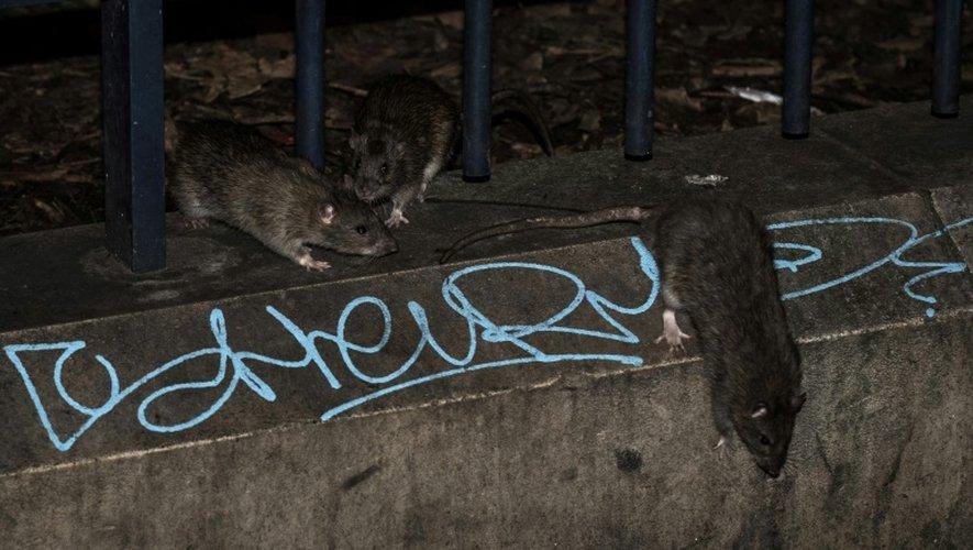 Les rats sont attirés par les déchets et par la nourriture distribuée aux pigeons par les passants