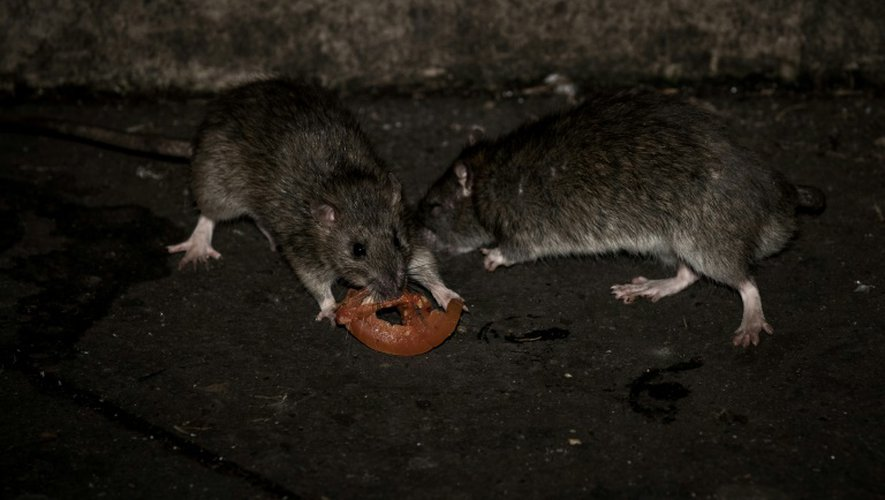 Deux rats grignotent une tranche de tomate au square de la tour Saint Jacques à Paris, le 15 décembre 2016