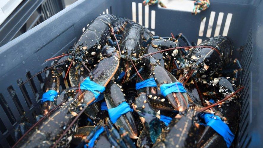 Des homards pêchés au large de Paimpol, dans l'ouest de la France, le 20 décembre 2016