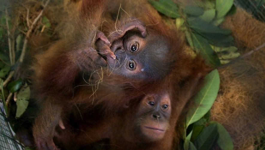 Deux bébés orang-outans ont été sauvés des griffes de trafiquants via l'application WhatsApp