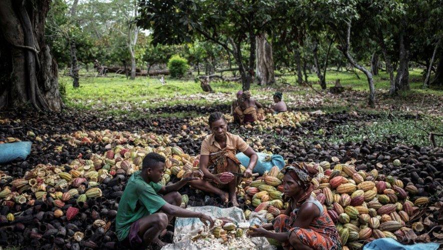 Récolte du cacao dans la forêt tropicale d'Ambanja, à Madagascar, le 30 novembre 2016