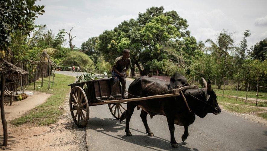 Un zébu tracte une charette chargée de cabosses de cacao à Ambanja, à Madagascar, le 29 novembre 2016