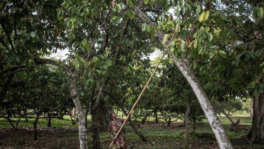 Récolte du cacao à Ambanja, à Madagascar, le 30 novembre 2016