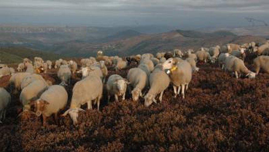 Sud-Aveyron: des troupeaux de brebis attaqués à Sainte-Eulalie
