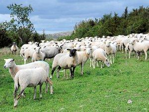 Pastoralisme José Bové invite le loup aujourd'hui au Parlement européen
