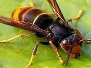 Frelon asiatique: fabriquez votre piège et sauvez les abeilles.