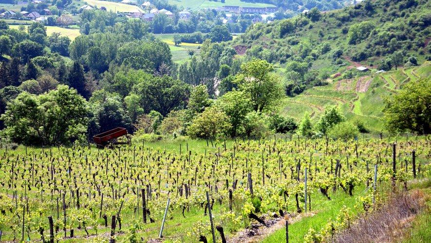 Après le gel de l'an passé, retour à la sérénité dans les vignes du Vallon
