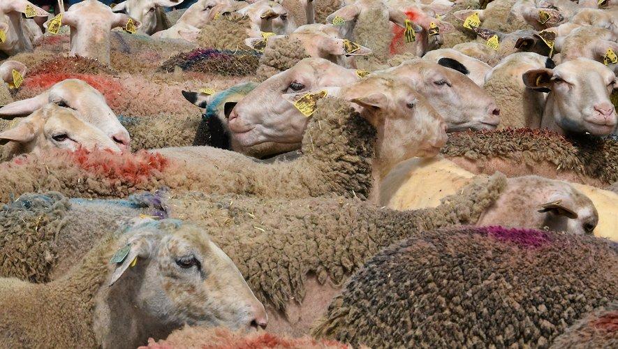 À Réquista, la fête de la brebis attire les foules
