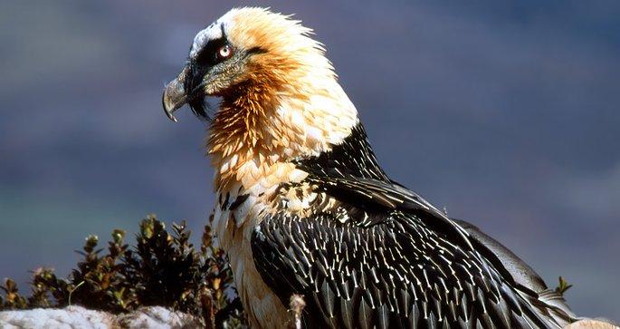 En juin 2012, un projet de réintroduction de Gypaète barbu a vu le jour dans les Grands Causses.