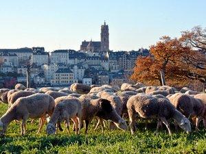 Les brebis vont paître  aux abords de la ville.