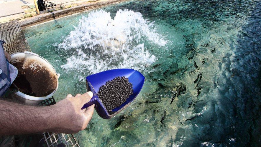 Les poissons issus de l'aquaculture et donc de l'élevage, sont toujours plus importants dans les assiettes des consommateurs, par rapport aux poissons sauvages, issus de la pêche