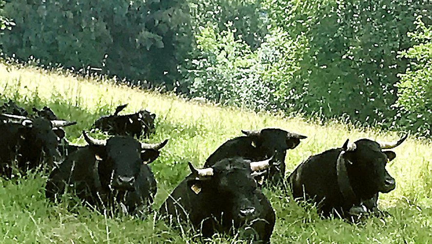 Des vaches d'Hérens pour protéger les brebis du loup