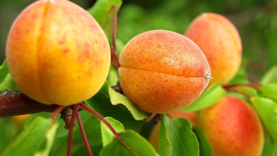 Amandes d'abricots : avec modération à cause du cyanure (Anses)