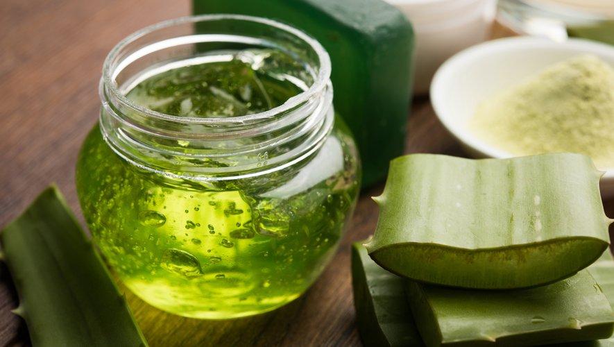 La consommation des feuilles fraîches d'aloe vera nécessite quelques précautions en raison du liquide de couleur jaune à l'effet laxatif qu'elles sécrètent