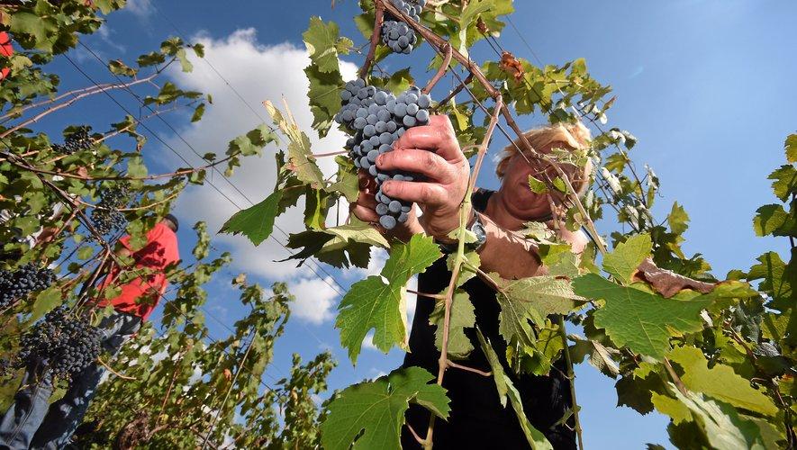 Lâcher la grappe au raisin