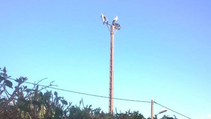 Des cigognes font une pause à Réquista
