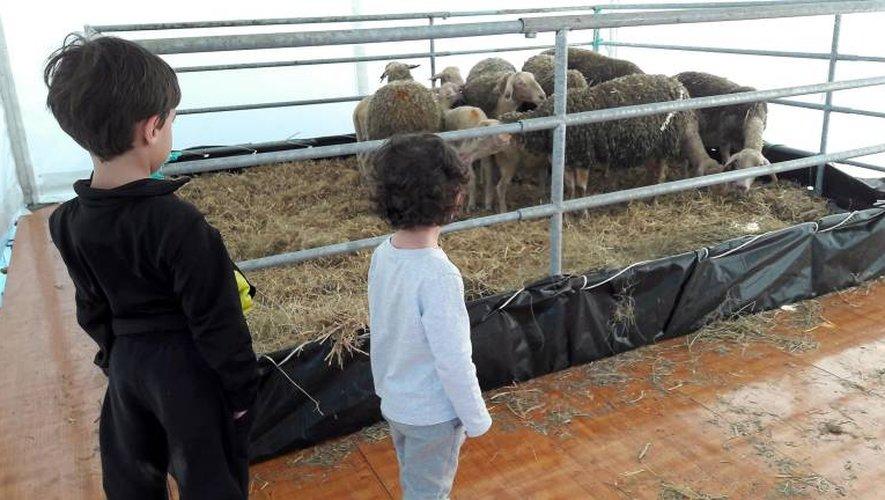 Traite et tonte des brebis, jeudi après-midi, sur l'esplanade des Rutènes