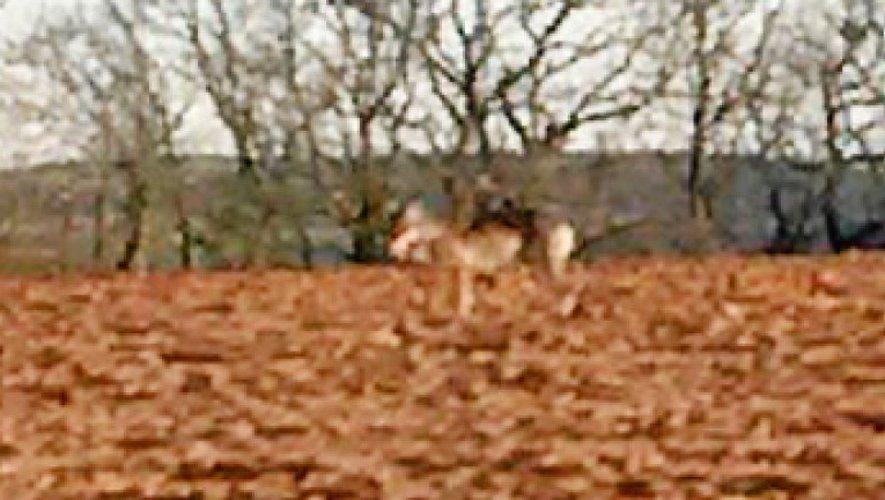 Sud-Aveyron : un nouveau troupeau de brebis attaqué...