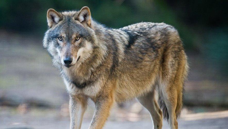 Cinq loups identifiés sur le Larzac selon un laboratoire allemand