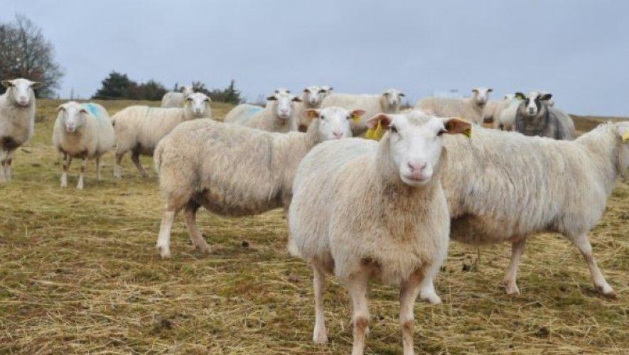 Encore une attaque de troupeaux: deux brebis tuées près de Cornus