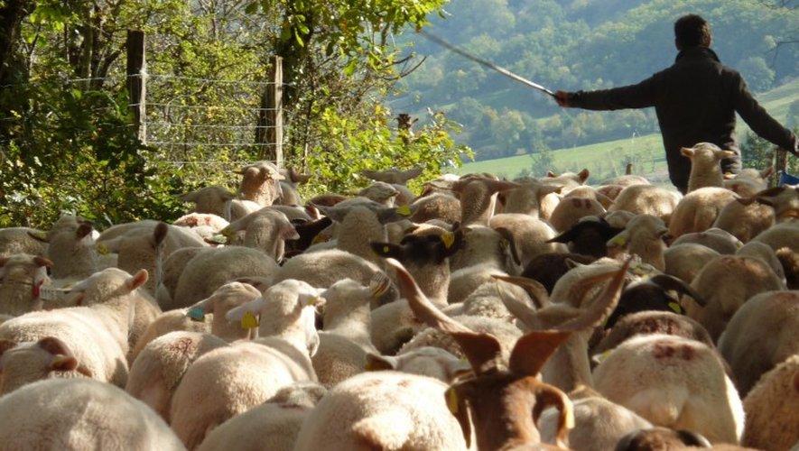 Sud-Aveyron : deux nouvelles attaques de troupeaux de brebis
