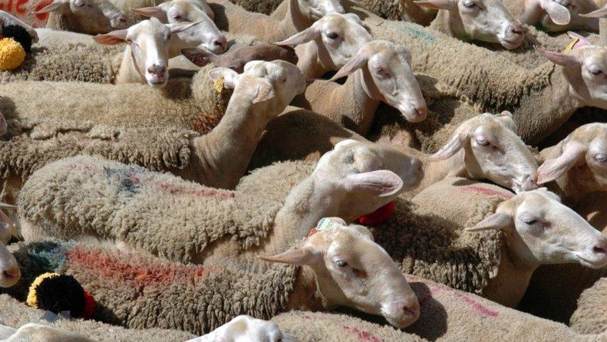 Larzac : un troupeau de brebis attaqué deux fois en deux jours