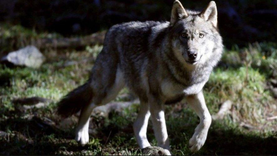 Chasse au loup sur le Larzac : «Aucun animal n'a été vu»