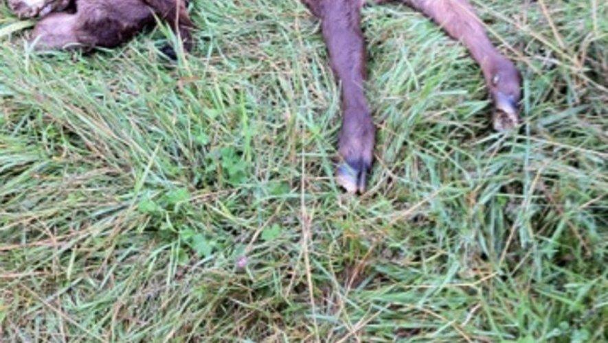 Laguiole : un veau attaqué par un vautour