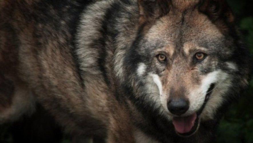 Attaques de loups sur le Larzac : le maire de Cornus interdit aux enfants de se promener seuls