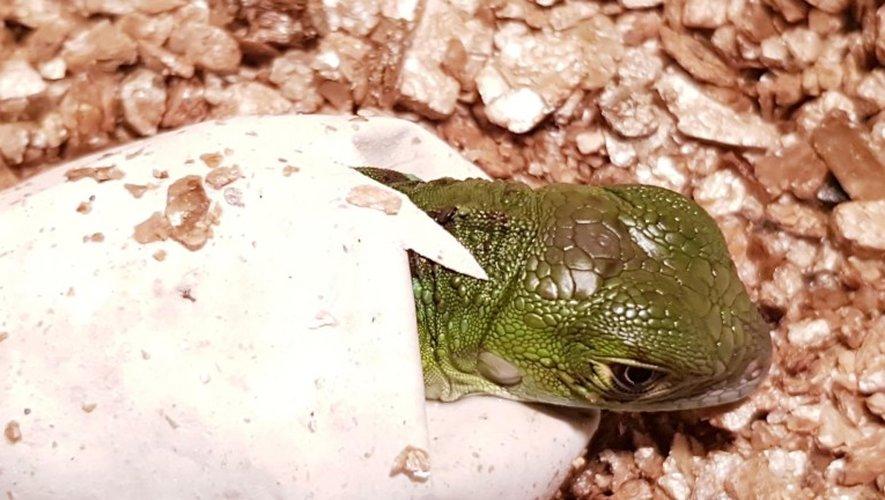 Fait rare en France, ce sont quelque 12 bébés iguanes qui sont sortis de leurs œufs, ce mois-ci.