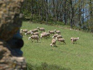 Sainte-Eulalie-de-Cernon : deux brebis tuées dans deux nouvelles attaques de troupeaux