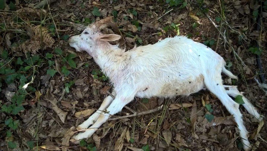 Au lieu-dit Le Bac, deux animaux de la famille Schlaflang ont été retrouvés morts mercredi.