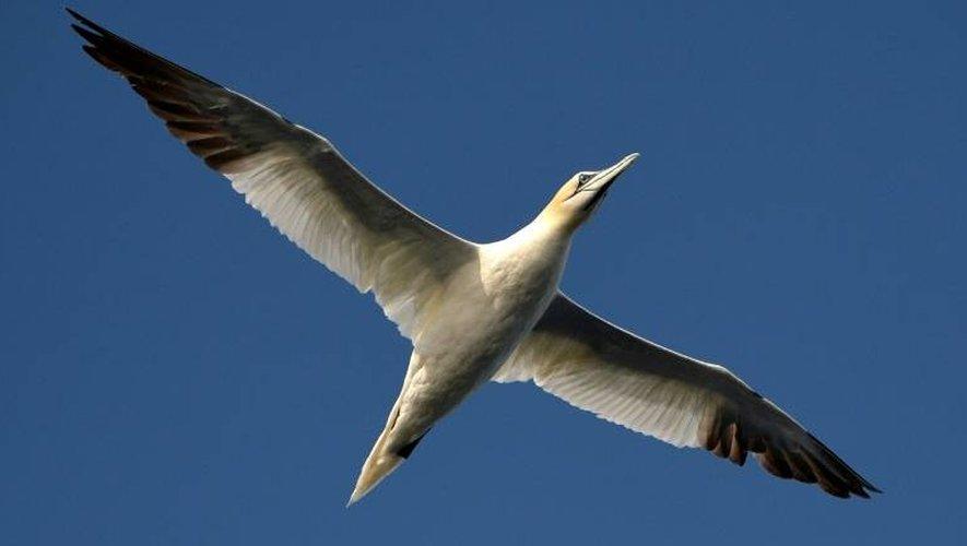 Le vol magesteux du fou de bassan reconnaissable avec sa tête jaune et le bout des ailes sombres dans le ciel de la réserve des Sept-Îles dans les Côtes-d'Armor le 7 août 2014