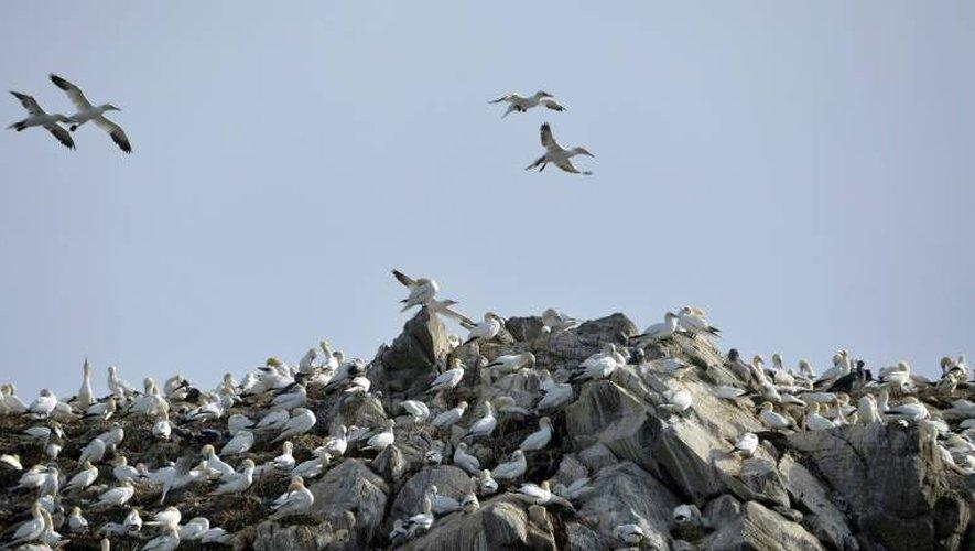 Une colonie de fous de bassan dans la réserve des Sept-Îles dans les Côtes-d'Armor le 7 août 2014