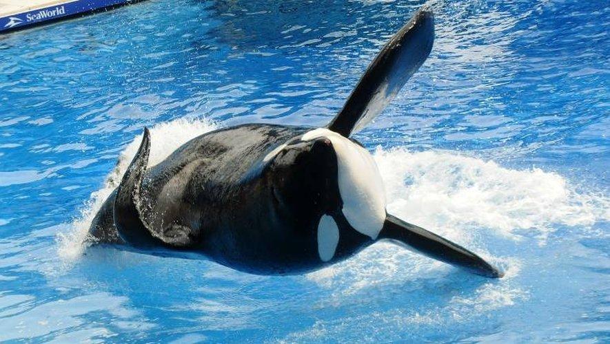 L'orque Tilikum lors d'un spectacle au Sea World d'Orlando en Floride, le 29 mars 2011