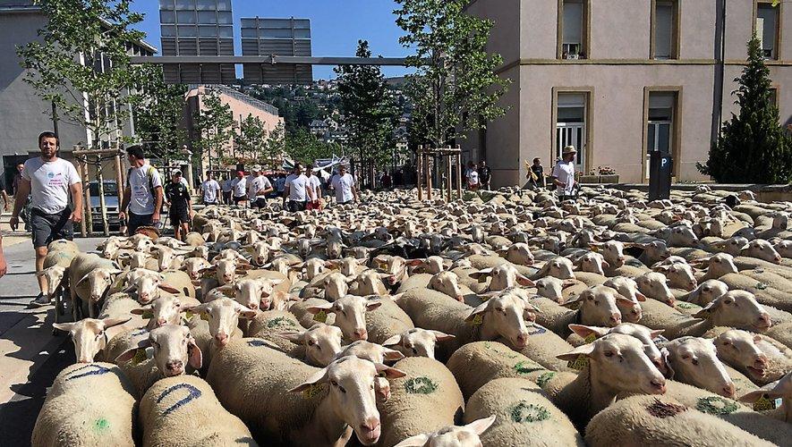 Des brebis à nouveau attaquées dans le sud-Aveyron.