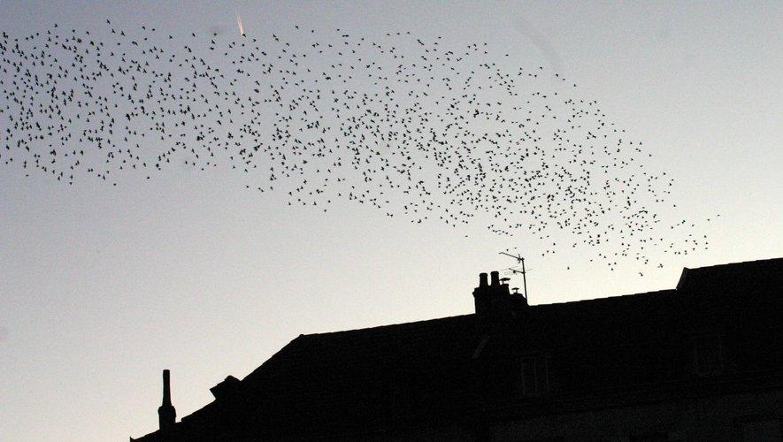 Tous les soirs le « nuage » d'étourneaux dépose ses centaines de volatiles place de la République.