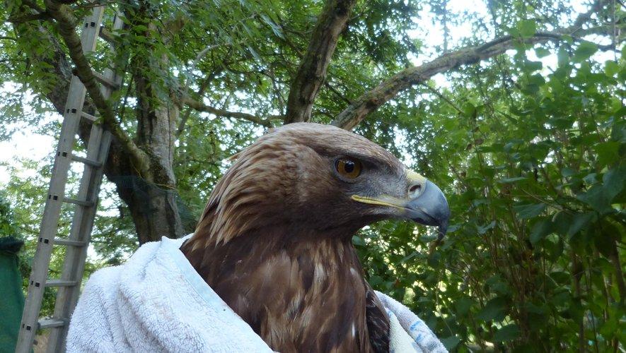 L'aigle royal est aujourd'hui encore une espèce menacée.