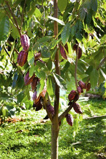 C'est la première fois que des chercheurs débusquent des traces archéologiques de l'utilisation du cacao en Amérique du Sud.