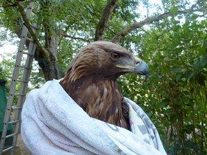L'aigle, à qui il manque une phalange à une aile, a été confié à l'Office national des forêts de Rambouillet.