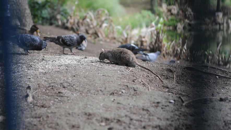 Les habitants ayant constaté chez eux la présence de rats doivent se présenter au véhicule de la Fodsa.