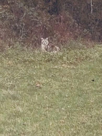Veau attaqué à Coubisou : est-ce l'oeuvre du lynx ?