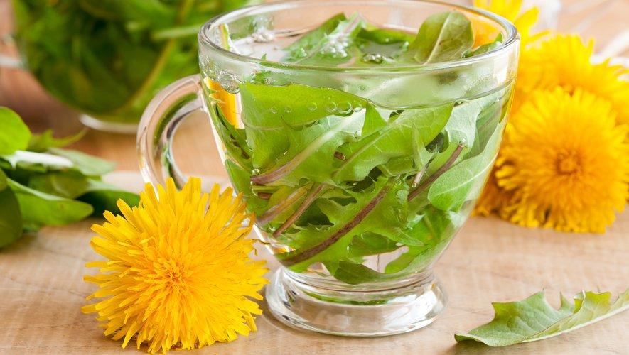 Tisane pissenlit de feuilles fraîches de pissenlit