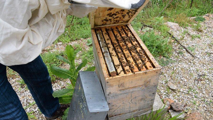 L'Abeille de l'Aveyron «gère» environ 12000 ruches sur le département.