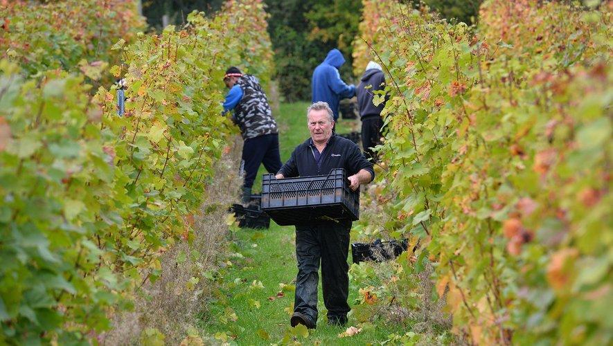 Avec le réchauffement climatique, les viticulteurs d'Angleterre se frottent les mains: leurs vins effervescents gagnent en qualité et rivalisent désormais avec le champagne